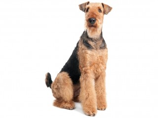 Airedale Terrier-002