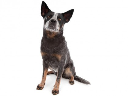 Australian Cattle Dog-002