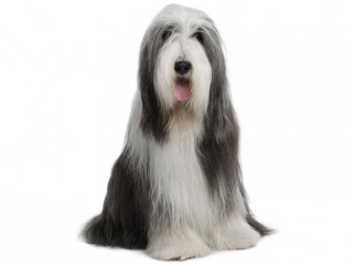 Bearded Collie-002