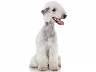 Bedlington terrier-002