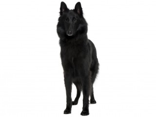 Belgian Shepherd Dog-002