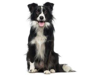 Border Collie-002