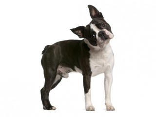 Boston Terrier-002