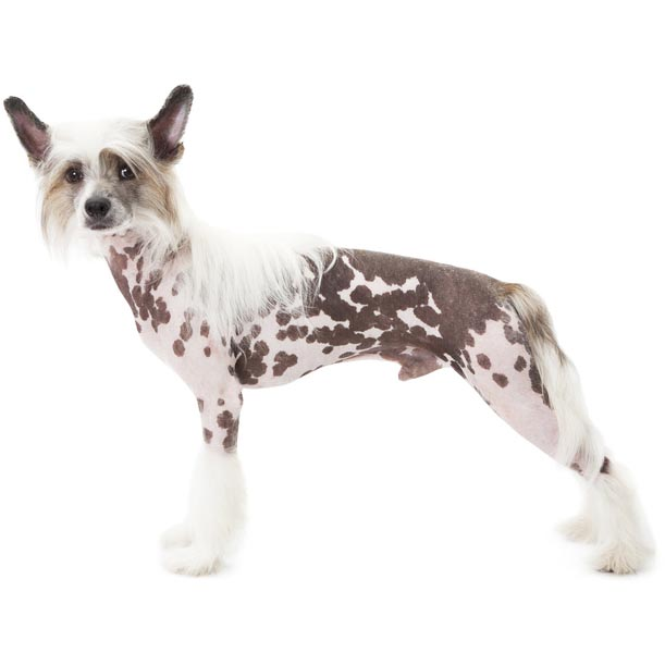 Chinese Crested dog-001