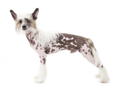 Chinese Crested dog-002