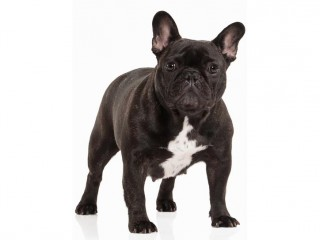 French bulldog-002