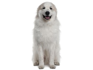Great Pyrenees-002