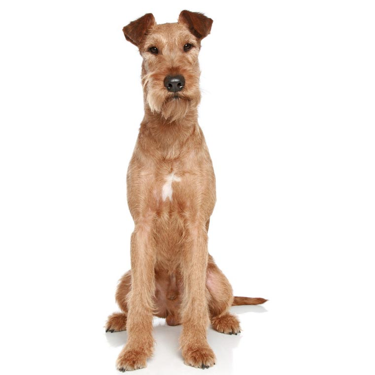 Irish terrier-001