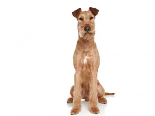 Irish terrier-002