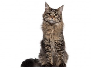 Maine Coon-002