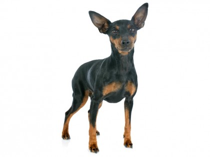 Miniature Pinscher-002