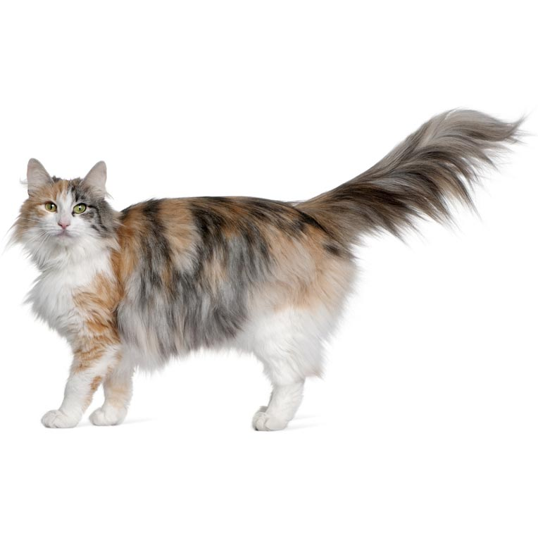 Norwegian Forest Cat-001
