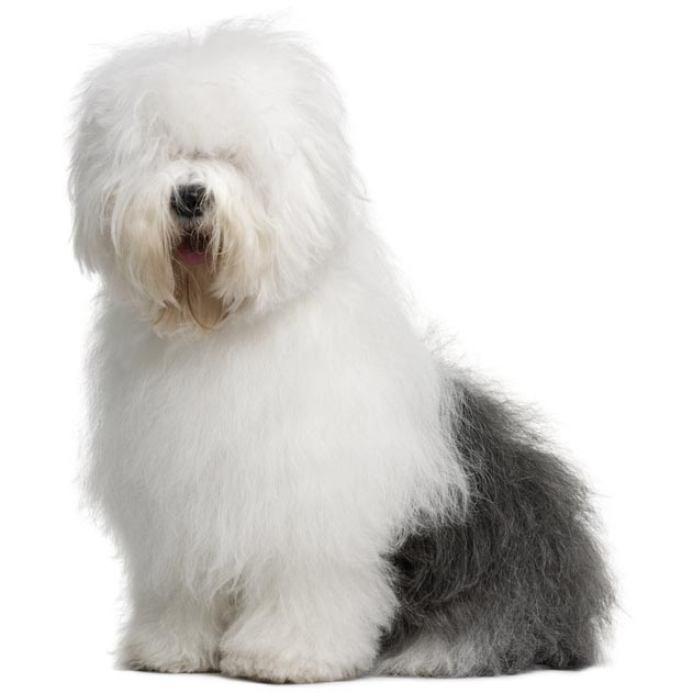 Old English Sheepdog-001
