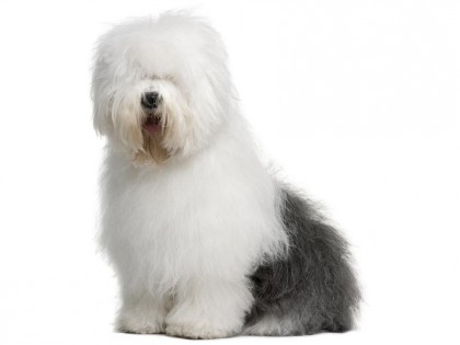 Old English Sheepdog-002