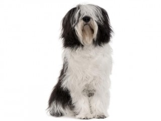 Polish Lowland Sheepdog-002