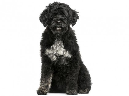 Portuguese Water Dog-002