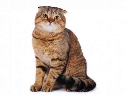 Scottish fold-002