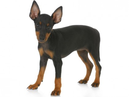 TOY MANCHESTER TERRIER-002