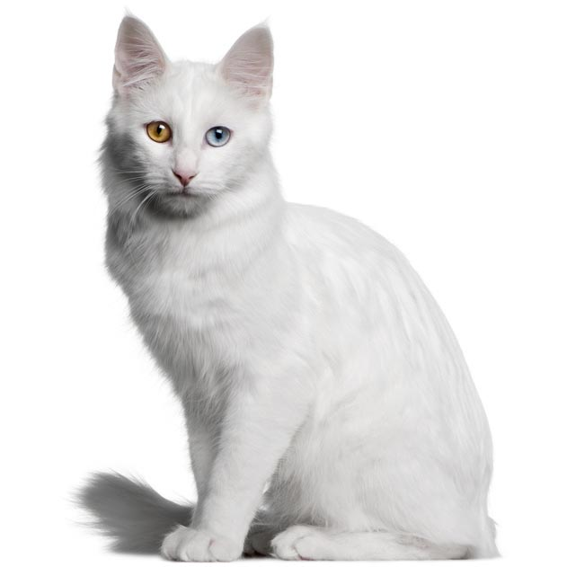 Turkish Angora-001