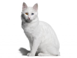 Turkish Angora-002