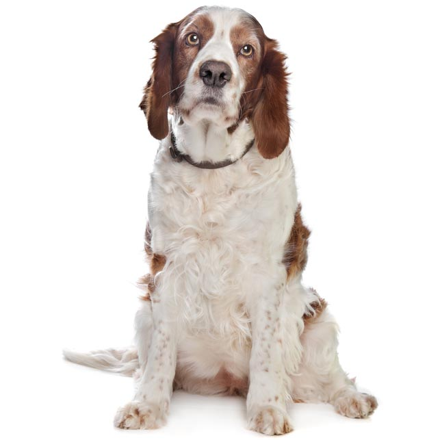 Welsh Springer Spaniel-001