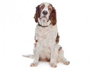 Welsh Springer Spaniel-002