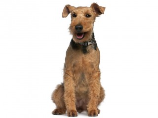 Welsh Terrier-002