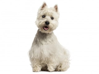 West Highland Terrier-002