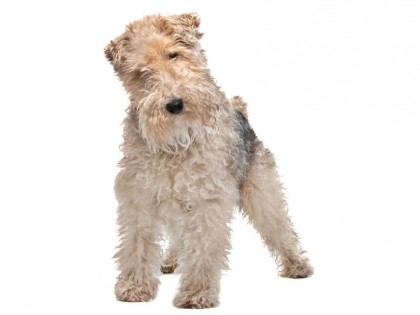 Wirehaired fox terrier-002