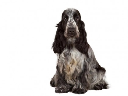 english cocker spaniel-002
