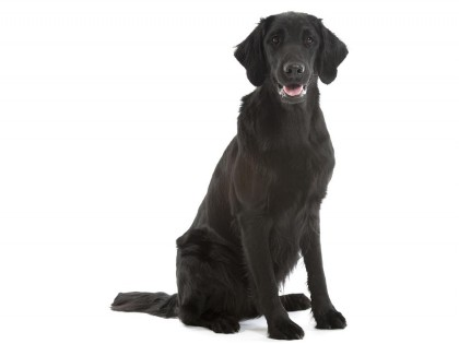 flat coated retriever-002