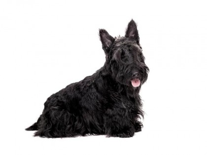 scottish terrier -002