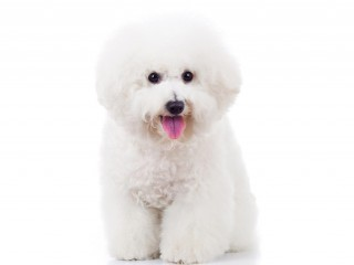 seated bichon frise-002