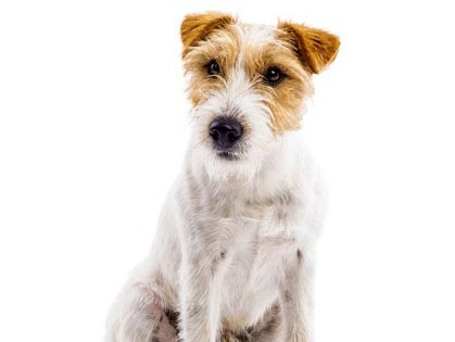 JACK-RUSSELL-TERRIER-0011-1