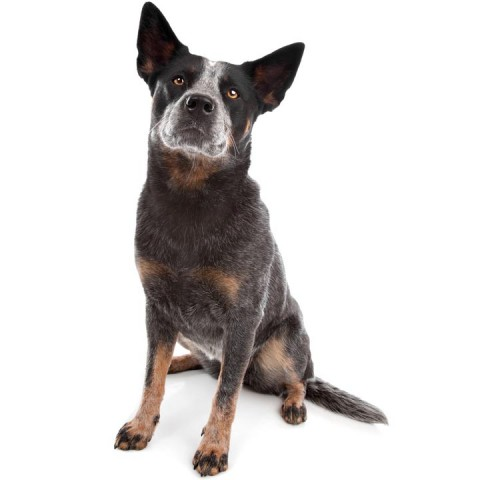 Australian Cattle Dog-001