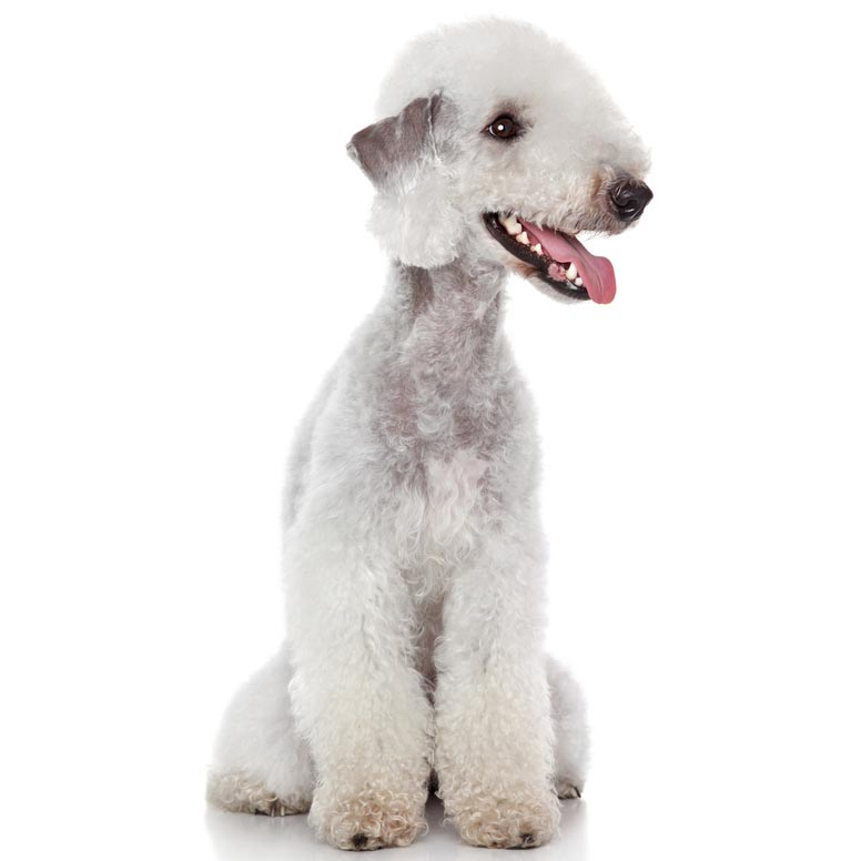 Bedlington terrier-001