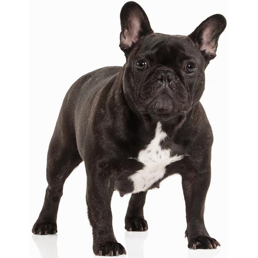 French bulldog-001