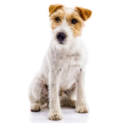 JACK RUSSELL TERRIER-001