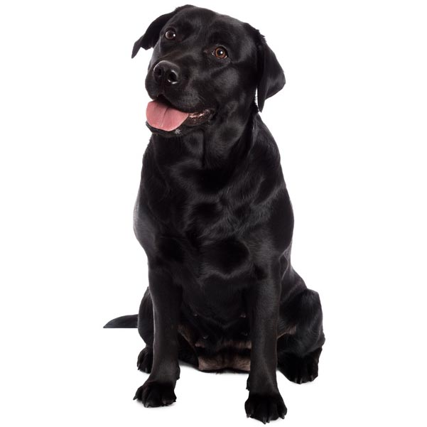 Labrador Retriever-001