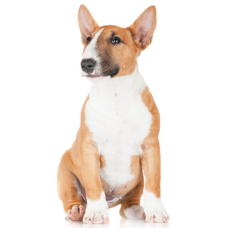 MINIATURE BULL TERRIER-001