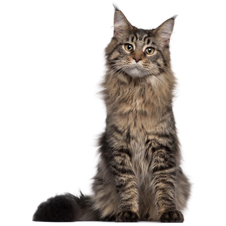 Maine Coon-001