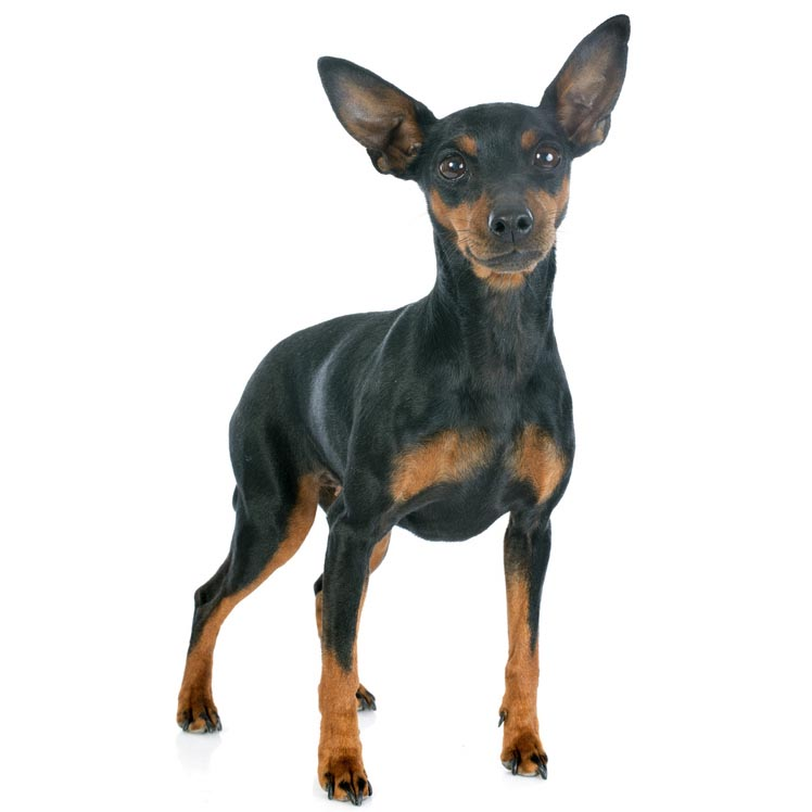 Miniature Pinscher-001