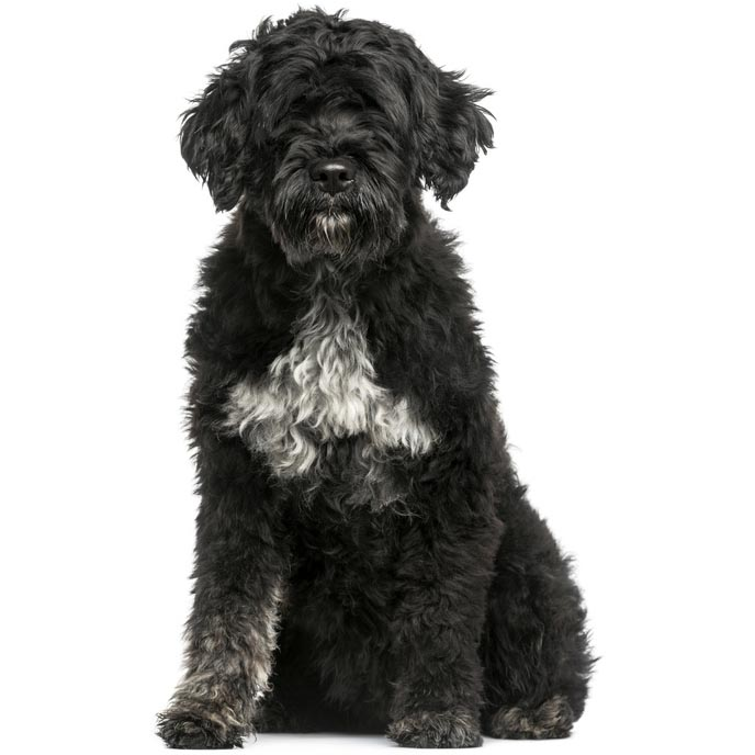 Portuguese Water Dog-001