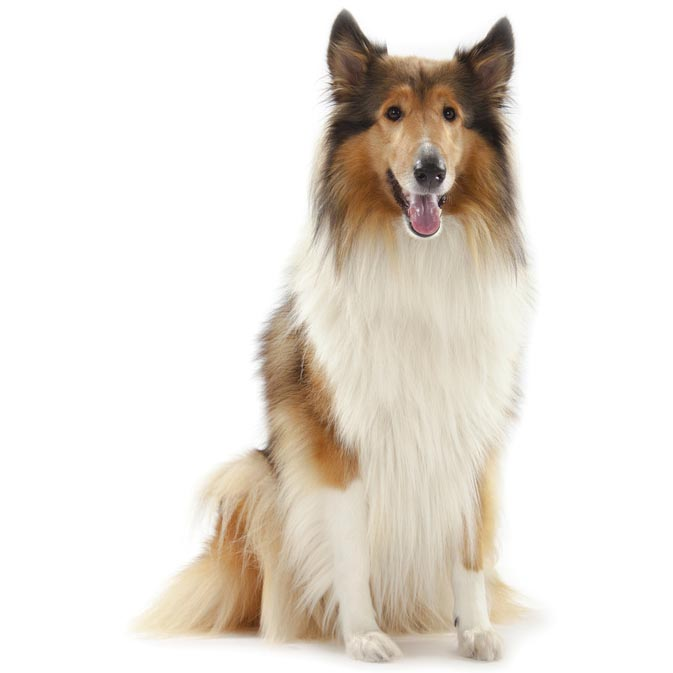 Rough Collie-001