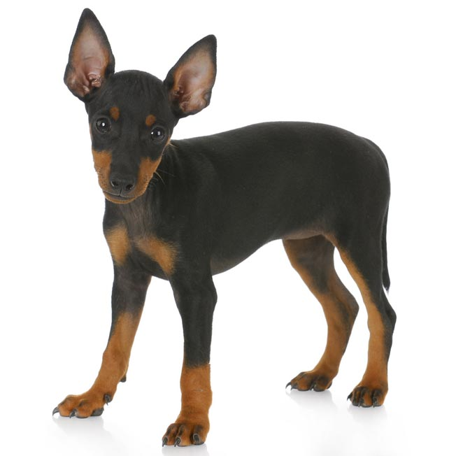 TOY MANCHESTER TERRIER-001