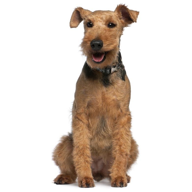 Welsh Terrier-001
