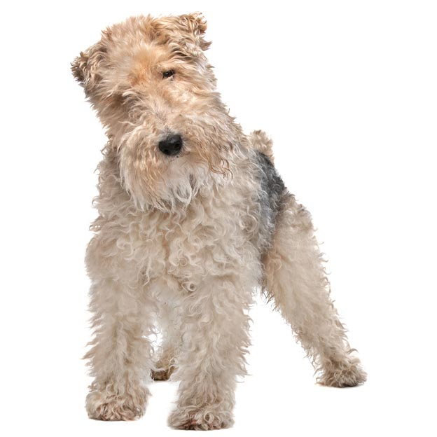 Wirehaired fox terrier-001