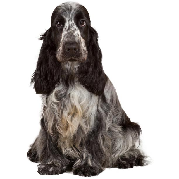 english cocker spaniel-001