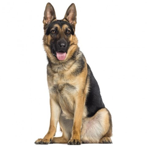 german shepherd -001