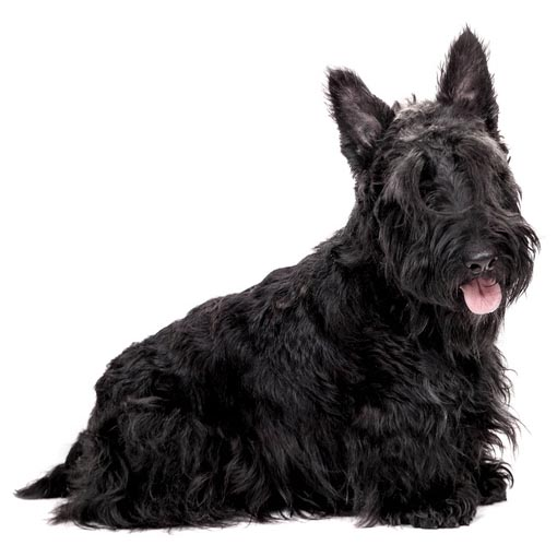 scottish terrier -001